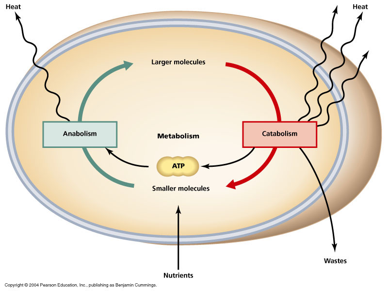 Metabolism from a physiological point of view