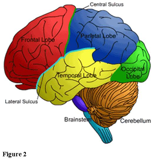 Scientific qi exploration the extraordinary fu organs yang the brain ccuart Image collections
